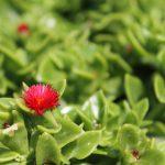 mediterrane Blume
